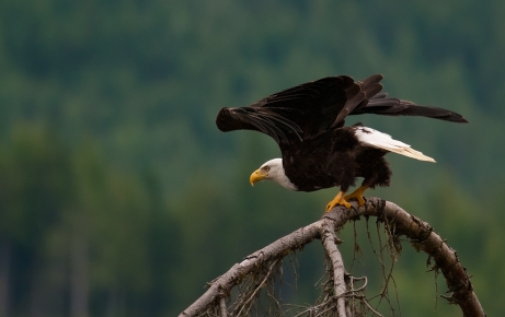 Bald Eagles are Awesome